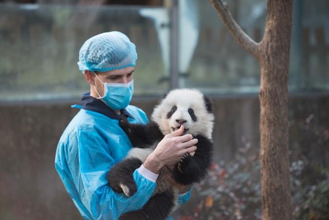 Pandas - Image - Image 4