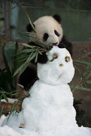 Pandas - Image - Image 5