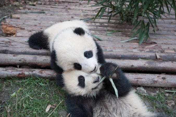 Pandas - Image - Image 7
