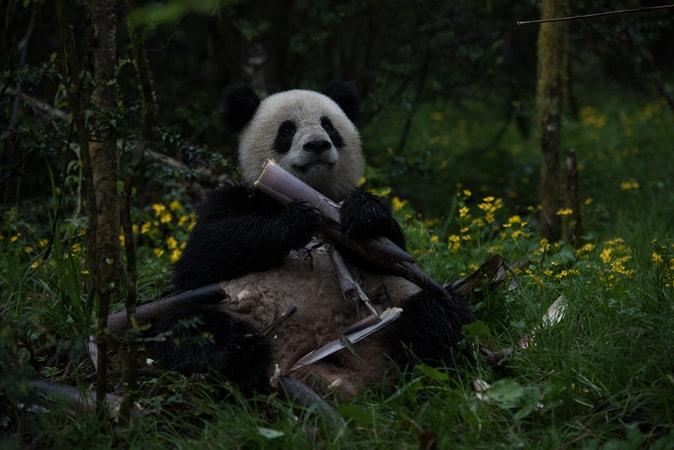Pandas - Image - Image 8