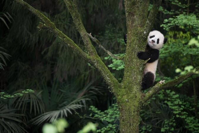 Pandas - Image - Image 14