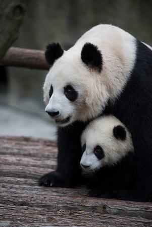 Pandas - Image - Image 19