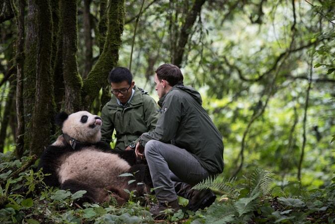 Pandas - Image - Image 20