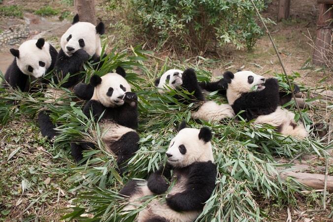 Pandas - Image - Image 23