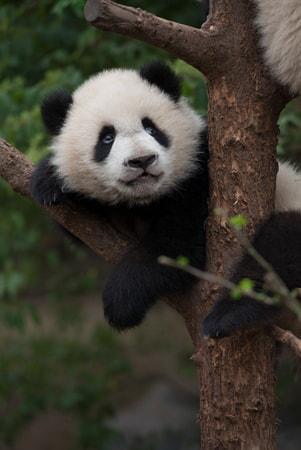Pandas - Image - Image 27