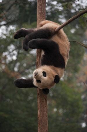 Pandas - Image - Image 28