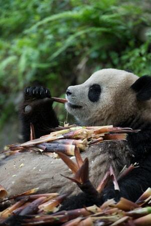 Pandas - Image - Image 29