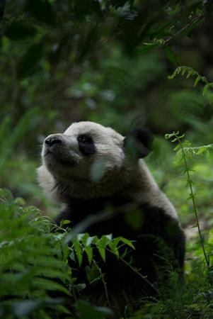 Pandas - Image - Image 30